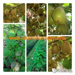 Kiwi Fruit Plant