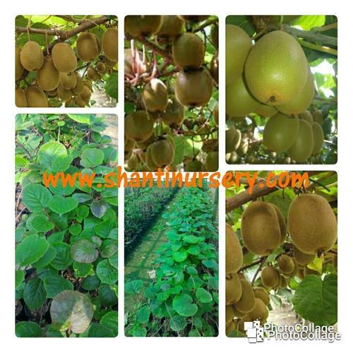 Kiwi Fruit Plant Manufacturer From Kolkata