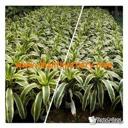 Victoria Plant