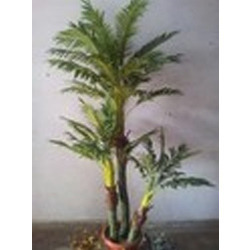 Golden Palm 7 Feet