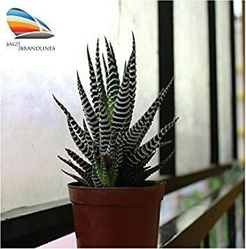Cactus Haworthia Attenuata, Zebra Home Decor Indoor Plant