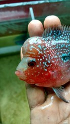 Imported Flower Horn Fish