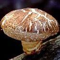 Shitake Mushroom Extract Powder