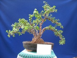 Bonsai Plants in Hyderabad - Latest Price & Mandi Rates from