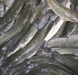 Singada Fish