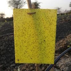 Yellow Sticky Trap In Nashik Maharashtra