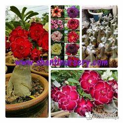 Adenium Grafted Plant