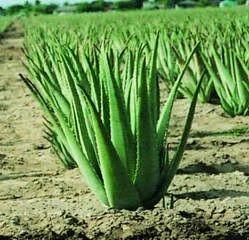 Aloe Vera in Bengaluru, Karnataka | Aloe Vera Price in Bengaluru