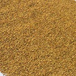 Egyptian Berseem Clover Seeds