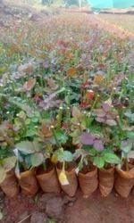 Top, Secret Dutch Rose Plants