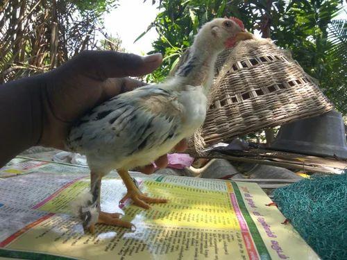 Cochin Bantam Chicks