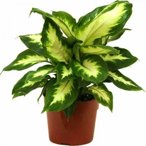 indoor ornamental plant सज वट प ध tanmay lawn