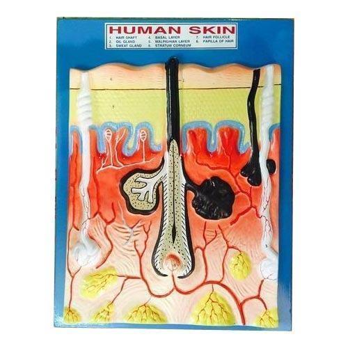Human Skin Model At Rs 290 Piece Human Anatomy Models