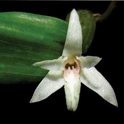 Dendrobium Macrael - Jivanti Extract