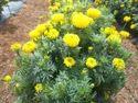Yellow Hybrid Marigold- F1 Sakura-031
