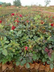 Taj Mahal (top Secret) Dutch Rose Plants