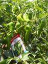SAGAR 222 F-1 Hybrid Chilli Seeds