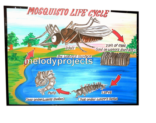 explain the water cycle wing with suitable diagram biology models - life cycle of mosquito models ...