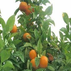 Citrus Aurantium Orange Extract
