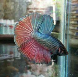 Multi Betta Fish