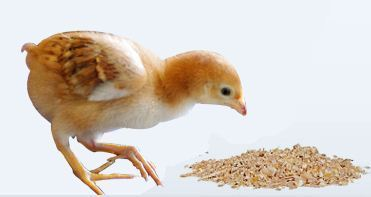 Poultry Feed and Broiler Wholesaler | Shanthi Poultry Farm