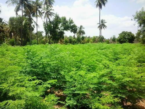 Organic Moringa Moringa Leaf Powder Manufacturer From Erode