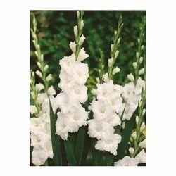 White gladiolus flower gladiolus flower ap flower mart white gladiolus flower mightylinksfo
