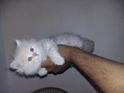 Persian cats price in india
