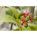Sarpagandha Plant