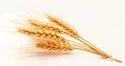 Wheat Testing