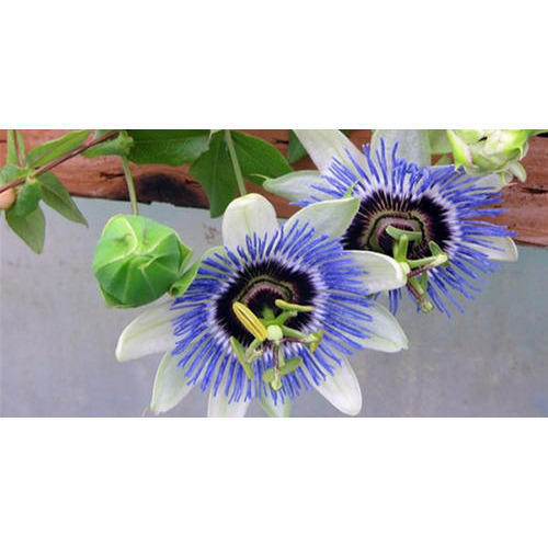 Krishna Kamal Flower Plant At Rs 250 Piece Lotus Plant Id