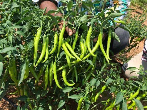 Sri Krishna Nursery - Animal / Crop Production of Green Chilli