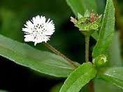 Eclipta Alba Herb