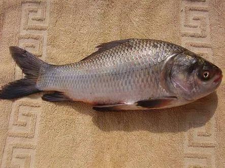 Goldfish(Bangaru Teega) and Bocha(Catla) Retailer | GMR Fish Seed