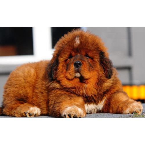 ... Pet Shop - Wholesale Supplier of Dog Breeds & Bully Dog from Delhi