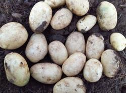 A Grade ooty Fresh Potato, Packaging Size: 40 Kg