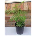 Drumstick Plant