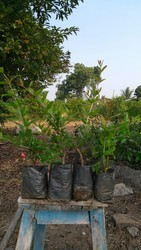 Organic Nursery Pomegranate Plant