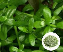 Bacopa Extract (Bacopa Monniera)