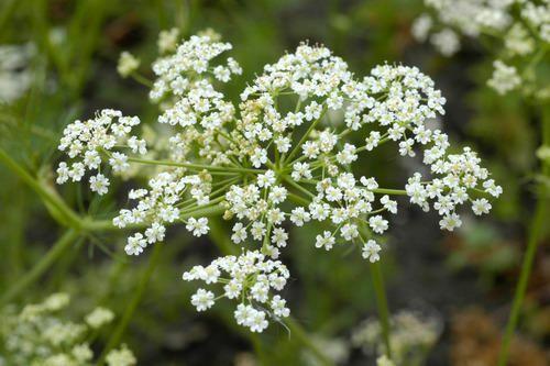 Just Seed Herb 2500 Seed Caraway Carum carvi