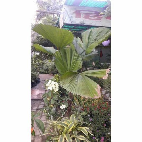 Pritchardia Plant खज र क प ड