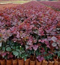 Taj Mahal(top Secret) Dutch Rose Plants
