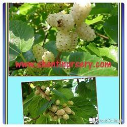 Mulberry Fruit Plant