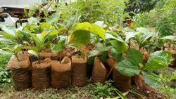 Teak Seedlings