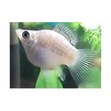 Silver Balloon Molly Fish