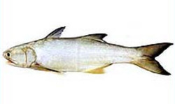 Salmon Fish in Kochi - Latest Price & Mandi Rates from ...
