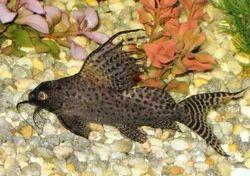 Live Catfish