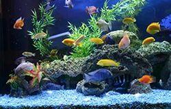 Cichlid Fish Aquarium Fish Aquarium West Mambalam