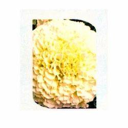Mari Gold Vanilla Flowers Seeds