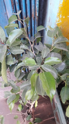 Lemon Tree & Flowering Plants Wholesaler from Madurai
